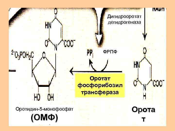 Дигидрооротат      дегидрогеназа