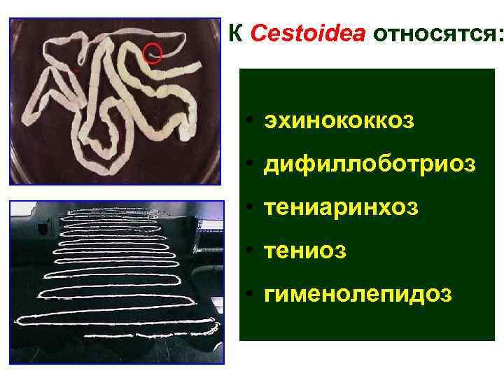 К Cestoidea относятся: • эхинококкоз  • дифиллоботриоз  • тениаринхоз  • тениоз