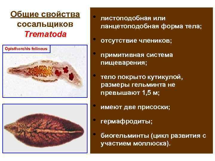 Общие свойства   •  листоподобная или  сосальщиков   ланцетоподобная