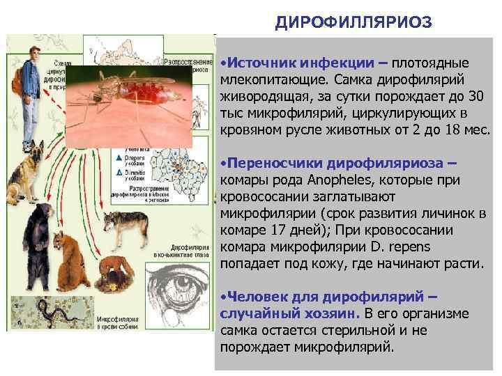 ДИРОФИЛЛЯРИОЗ  • Источник инфекции – плотоядные млекопитающие. Самка дирофилярий живородящая, за