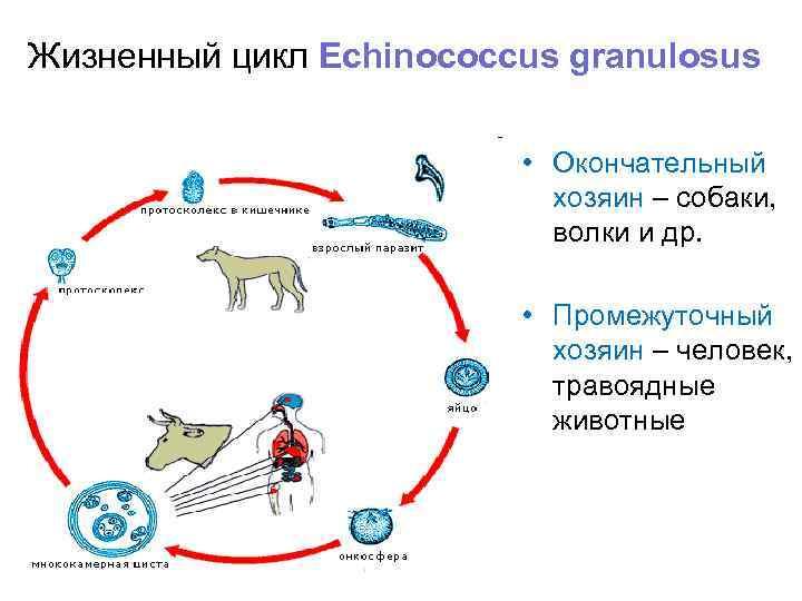 Жизненный цикл Echinococcus granulosus      • Окончательный