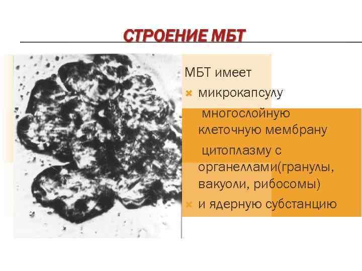 МБТ имеет  микрокапсулу  многослойную  клеточную мембрану  цитоплазму с  органеллами(гранулы,