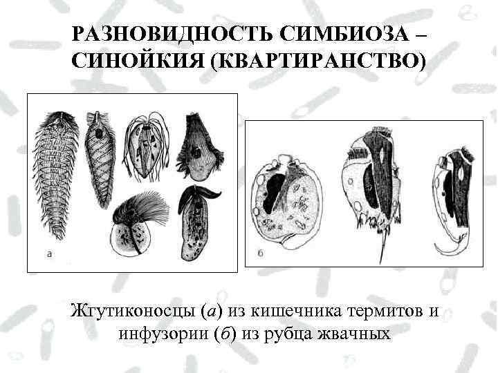 РАЗНОВИДНОСТЬ СИМБИОЗА – СИНОЙКИЯ (КВАРТИРАНСТВО) Жгутиконосцы (а) из кишечника термитов и инфузории (б) из