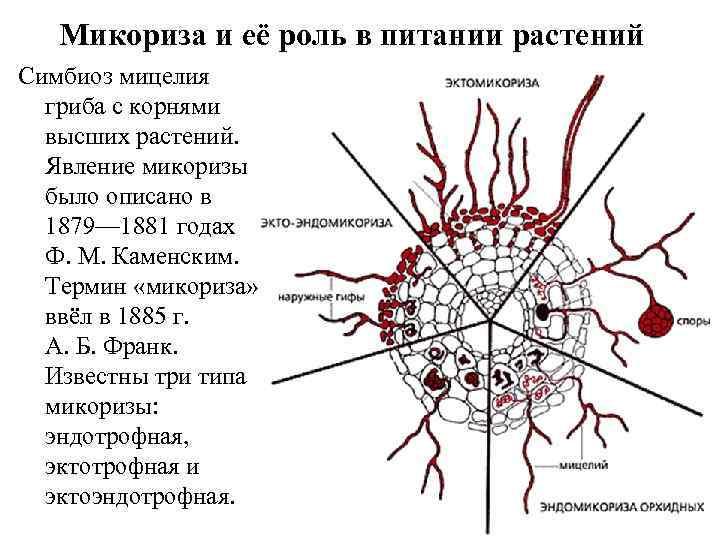 Микориза и её роль в питании растений Симбиоз мицелия гриба с корнями высших растений.