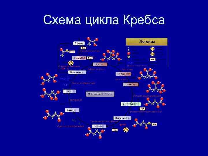 Схема цикла Кребса