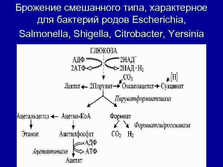 Брожение смешанного типа, характерное для бактерий родов Escherichia,  Salmonella, Shigella, Citrobacter, Yersinia