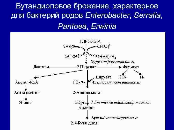 Бутандиоловое брожение, характерное для бактерий родов Enterobacter, Serratia,    Pantoea, Erwinia