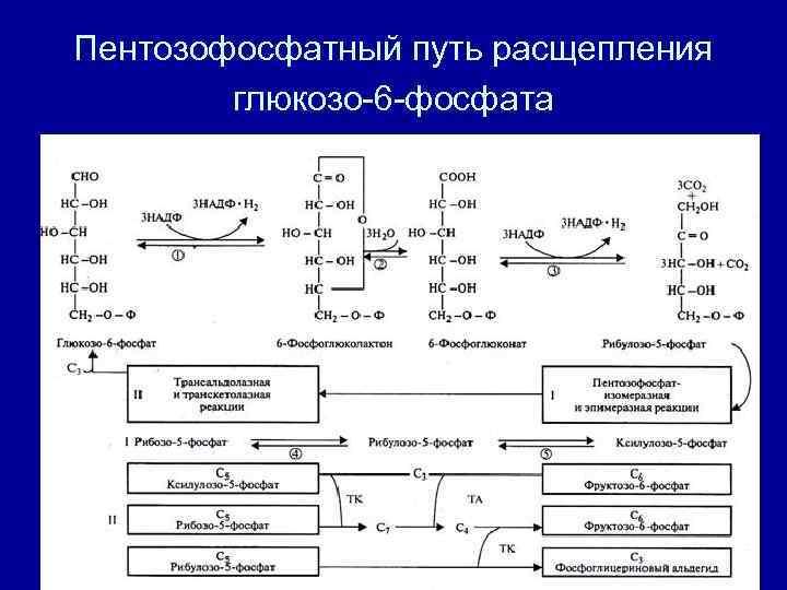 Пентозофосфатный путь расщепления   глюкозо-6 -фосфата