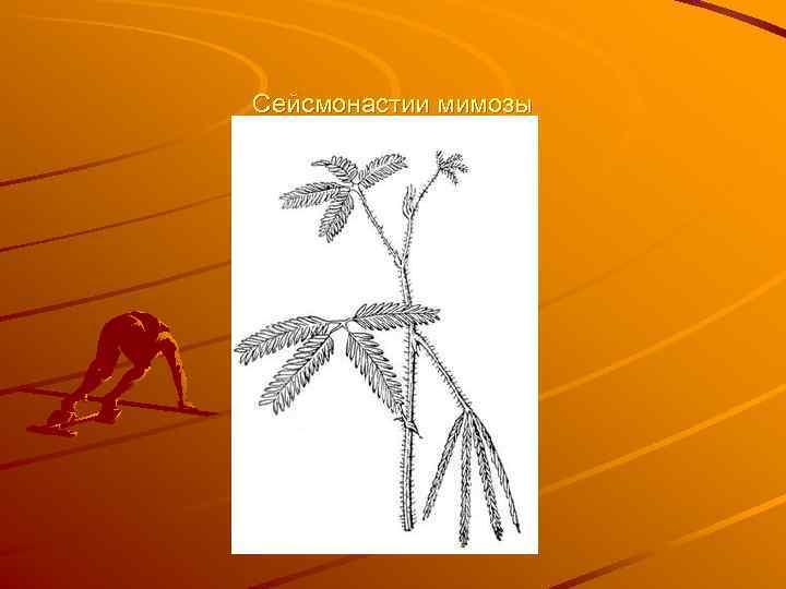 Сейсмонастии мимозы