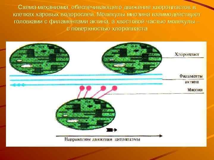 Схема механизма, обеспечивающего движение хлоропластов в клетках харовых водорослей. Молекулы миозина взаимодействуют головками