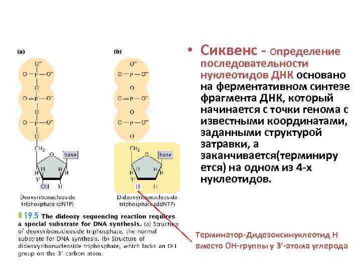 • Сиквенс - определение  последовательности  нуклеотидов ДНК основано  на ферментативном
