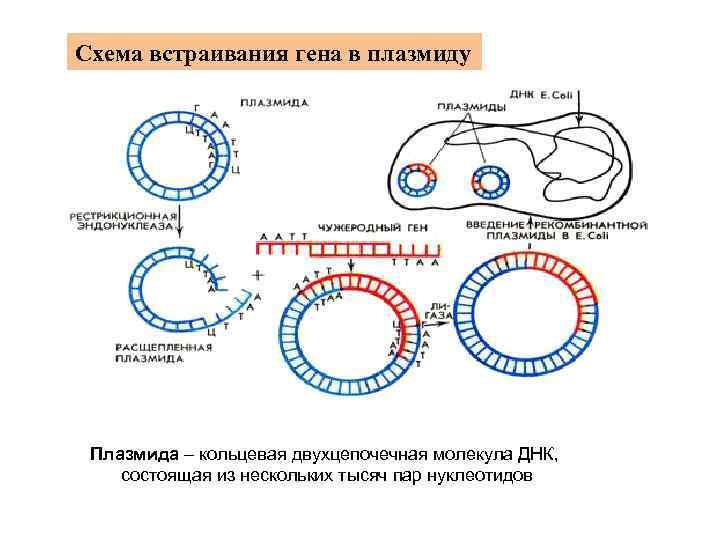 Схема встраивания гена в плазмиду Плазмида – кольцевая двухцепочечная молекула ДНК, состоящая из нескольких
