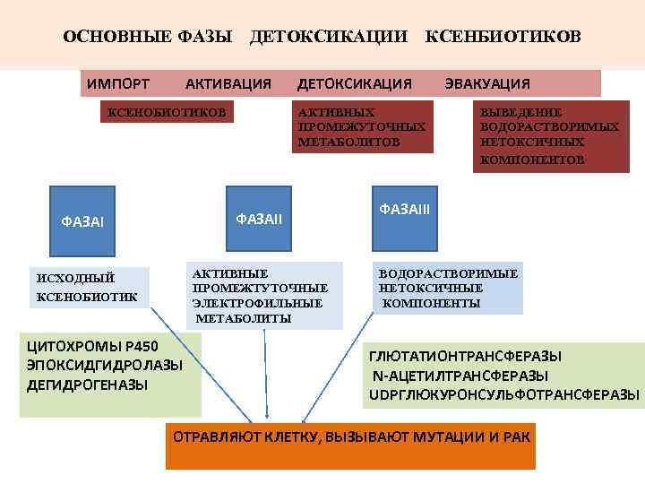 ОСНОВНЫЕ ФАЗЫ  ДЕТОКСИКАЦИИ  КСЕНБИОТИКОВ  ИМПОРТ  АКТИВАЦИЯ  ДЕТОКСИКАЦИЯ