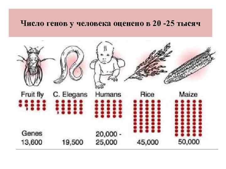 Число генов у человека оценено в 20 -25 тысяч