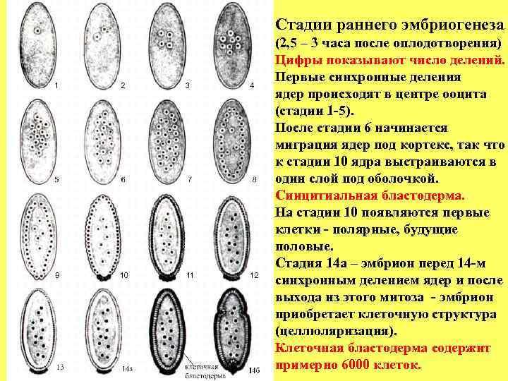 Стадии раннего эмбриогенеза (2, 5 – 3 часа после оплодотворения) Цифры показывают число делений.