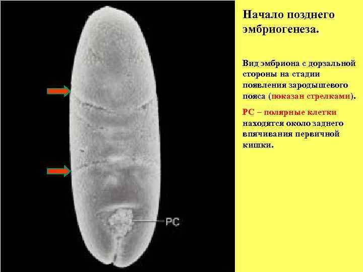 Начало позднего эмбриогенеза.  Вид эмбриона с дорзальной стороны на стадии появления зародышевого пояса