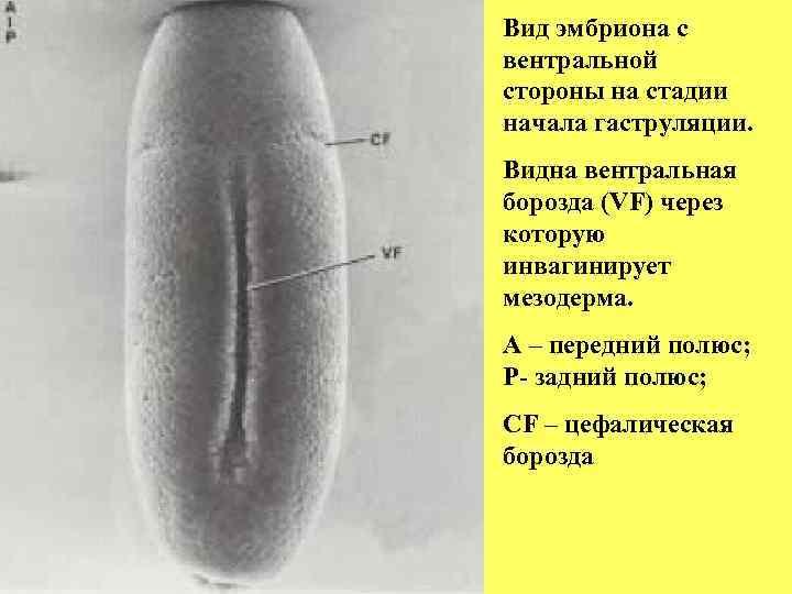 Вид эмбриона с вентральной стороны на стадии начала гаструляции. Видна вентральная борозда (VF) через
