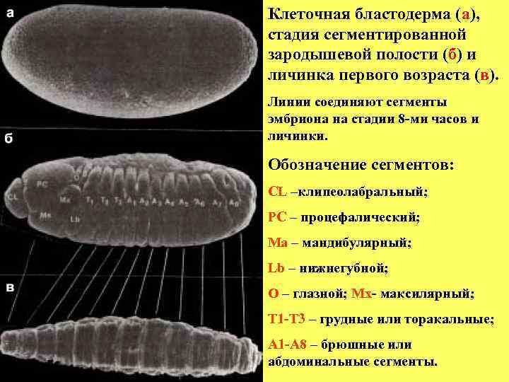 Клеточная бластодерма (а),  стадия сегментированной зародышевой полости (б) и личинка первого возраста (в).
