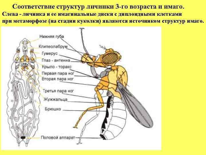 Соответствие структур личинки 3 -го возраста и имаго. Слева - личинка и ее