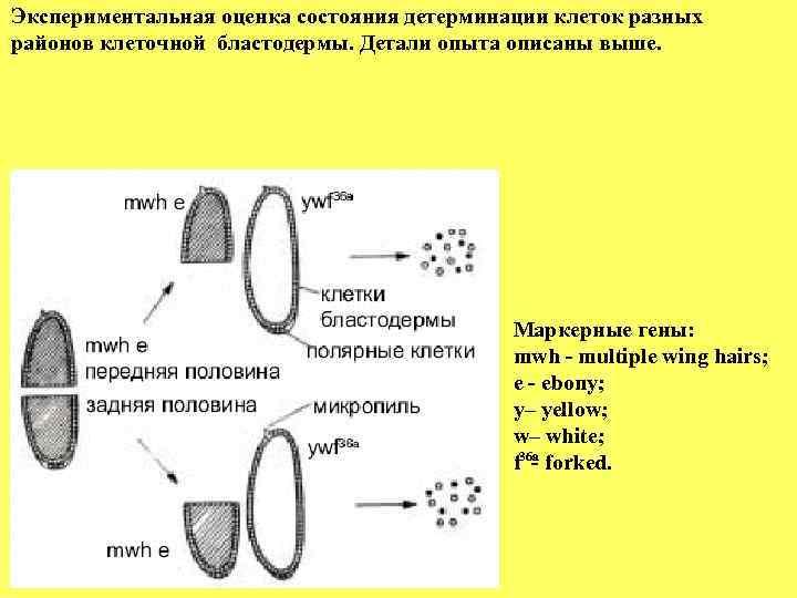 Экспериментальная оценка состояния детерминации клеток разных районов клеточной бластодермы. Детали опыта описаны выше.