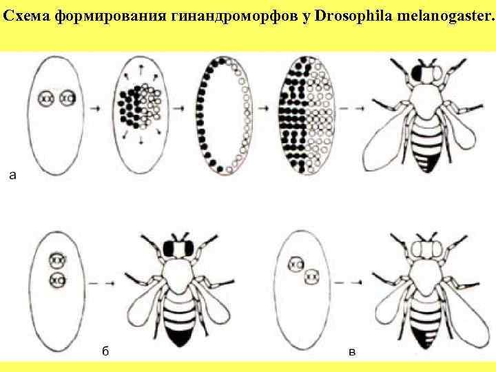 Схема формирования гинандроморфов у Drosophila melanogaster.