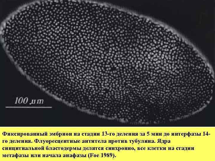 Фиксированный эмбрион на стадии 13 -го деления за 5 мин до интерфазы 14 -
