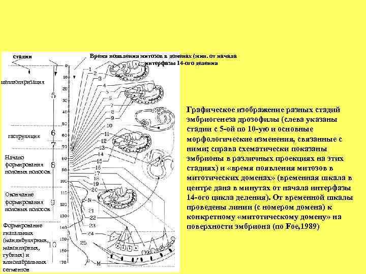 стадии   Время появления митозов в доменах (мин. от начала