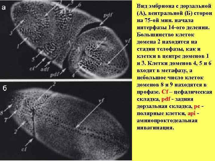 Вид эмбриона с дорзальной (А), вентральной (Б) сторон на 75 -ой мин. начала интерфазы