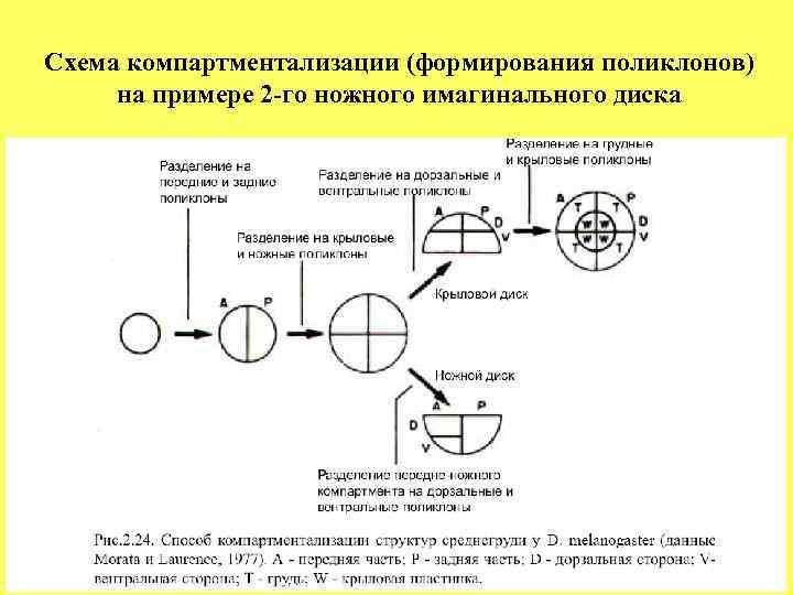 Схема компартментализации (формирования поликлонов) на примере 2 -го ножного имагинального диска
