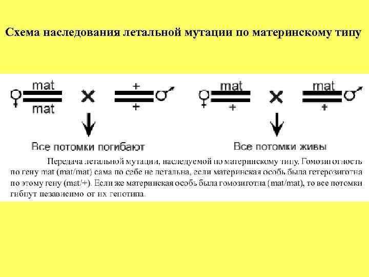 Схема наследования летальной мутации по материнскому типу