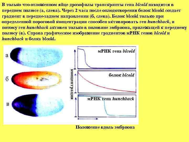 В только что отложенном яйце дрозофилы транскрипты гена bicoid находятся в переднем полюсе (а,