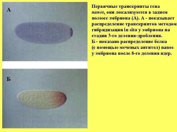 Первичные транскрипты гена А  nanos, они локализуются в заднем полюсе эмбриона