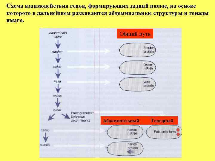 Схема взаимодействия генов, формирующих задний полюс, на основе которого в дальнейшем развиваются абдоминальные структуры