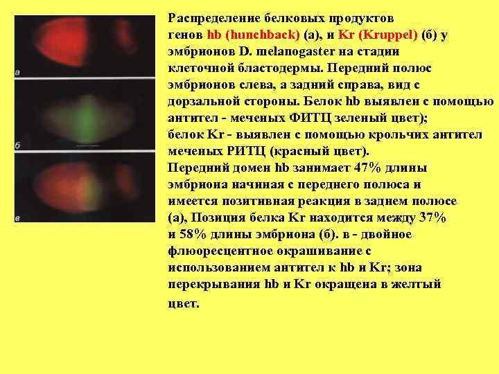 Распределение белковых продуктов генов hb (hunchback) (а), и Kr (Kruppel) (б) у эмбрионов D.