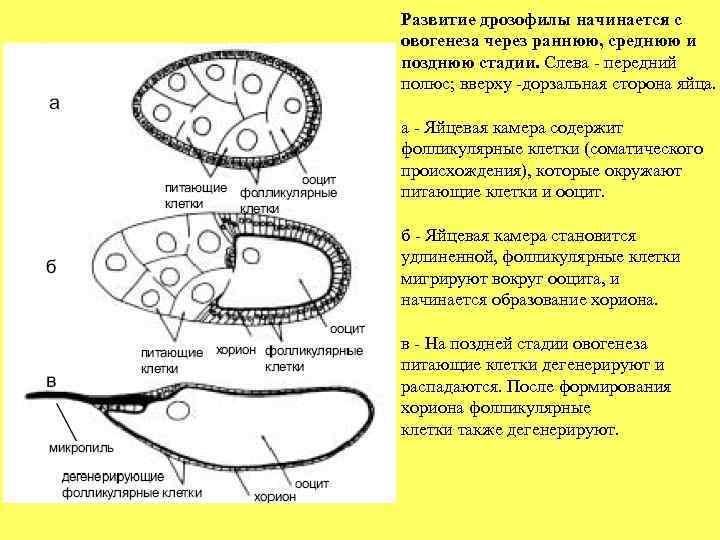 Развитие дрозофилы начинается с овогенеза через раннюю, среднюю и позднюю стадии. Слева - передний