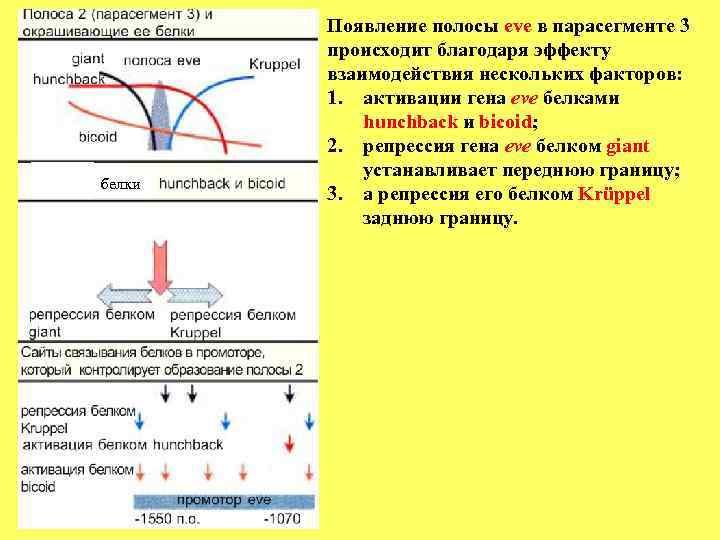 Появление полосы eve в парасегменте 3   происходит благодаря эффекту