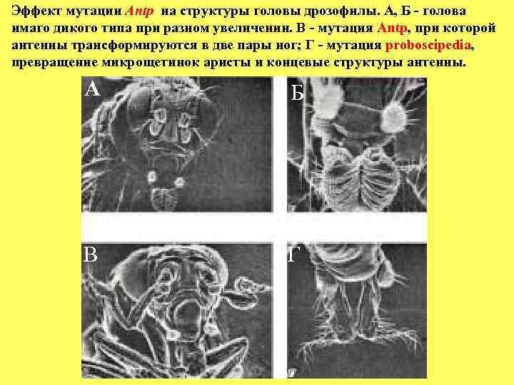 Эффект мутации Antp на структуры головы дрозофилы. A, Б - голова имаго дикого типа