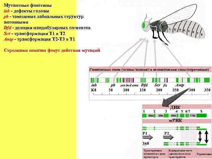 Мутантные фенотипы lab - дефекты головы pb - замещение лабиальных структур антенными Dfd -
