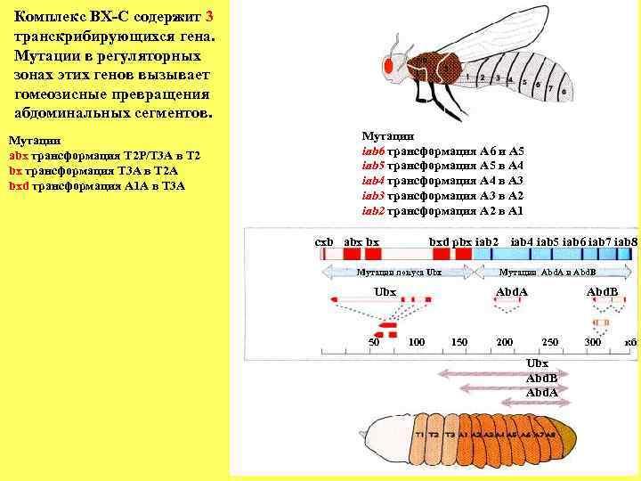 Комплекс BХ-C содержит 3 транскрибирующихся гена. Мутации в регуляторных зонах этих генов вызывает гомеозисные