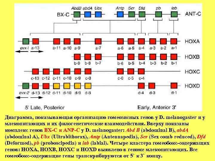 Диаграмма, показывающая организацию гомеозисных генов у D. melanogaster и у млекопитающих и их филогенетические