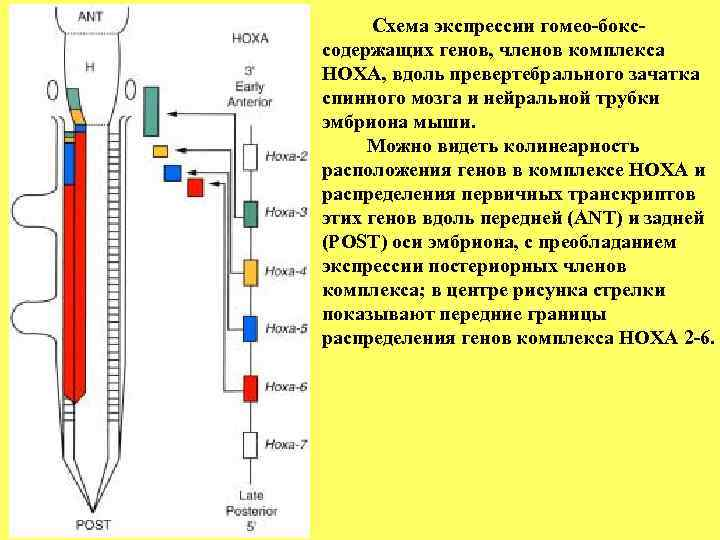 Схема экспрессии гомео-бокс- содержащих генов, членов комплекса НОХА, вдоль превертебрального зачатка