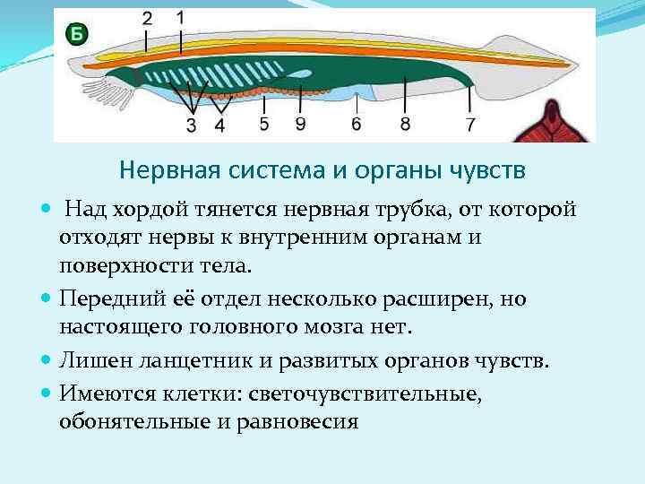 Нервная система и органы чувств  Над хордой тянется нервная трубка, от