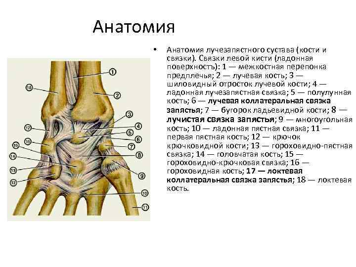 Анатомия • Анатомия лучезапястного сустава (кости и связки). Связки левой кисти (ладонная поверхностъ): 1