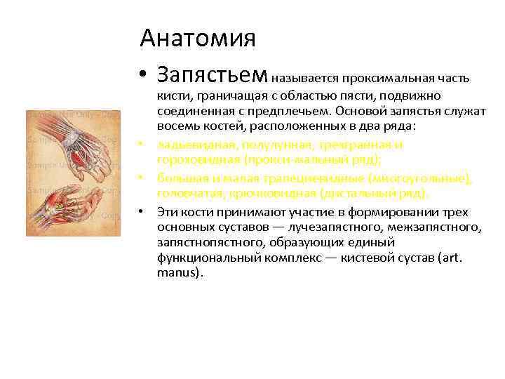 Анатомия • Запястьем называется проксимальная часть кисти, граничащая с областью пясти, подвижно соединенная с