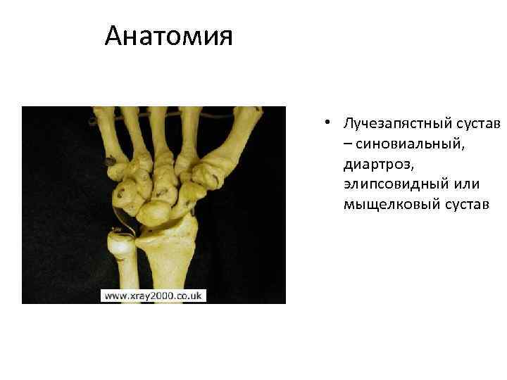 Анатомия • Лучезапястный сустав – синовиальный, диартроз, элипсовидный или мыщелковый сустав