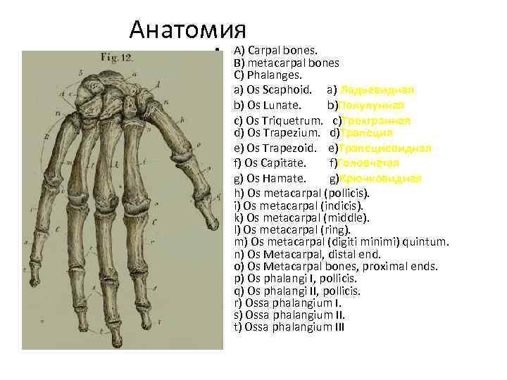 Анатомия • • A) Carpal bones. B) metacarpal bones C) Phalanges. a) Os