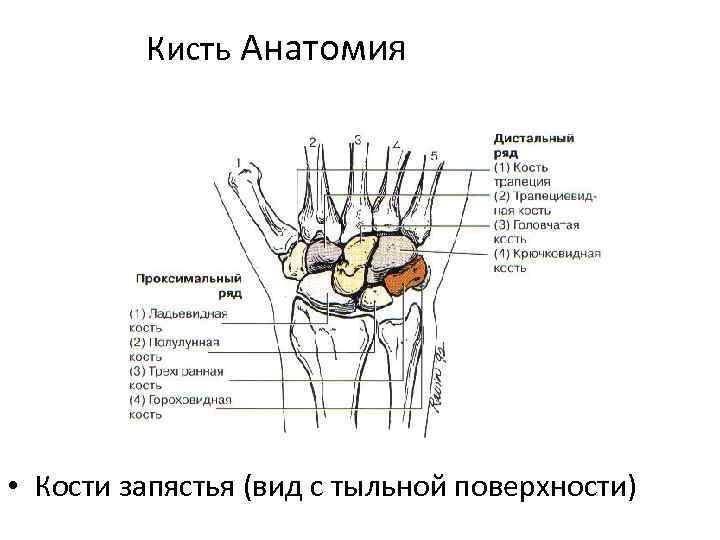 Кисть Анатомия • Кости запястья (вид с тыльной поверхности)