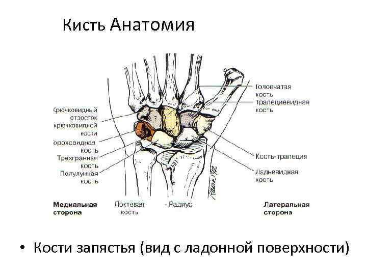 Кисть Анатомия • Кости запястья (вид с ладонной поверхности)