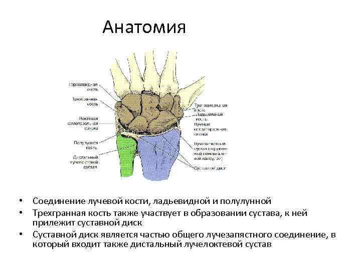 Анатомия • Соединение лучевой кости, ладьевидной и полулунной • Трехгранная кость также участвует в