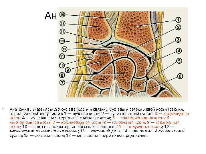 Анатомия • Анатомия лучезапястного сустава (кости и связки). Суставы и связки левой кости (распил,
